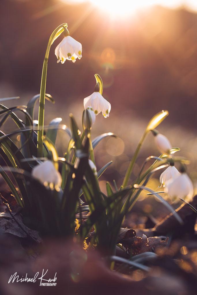 Märzenbecher im warmen Licht der untergehenden Sonne. Foto: Michael Kaub